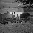 A-sellafield-Farm-1935,-fell-ponies